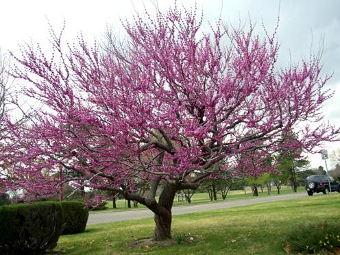 crestmoor_tree.jpg