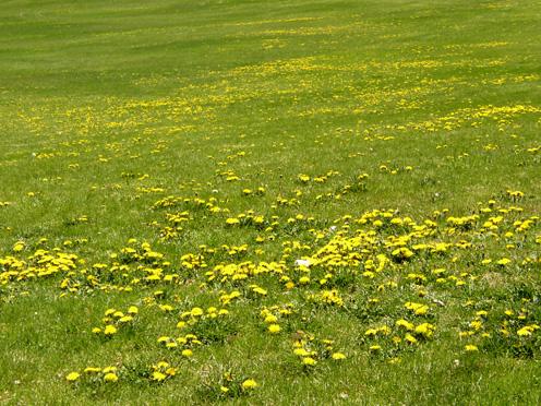 dandelion_field.jpg