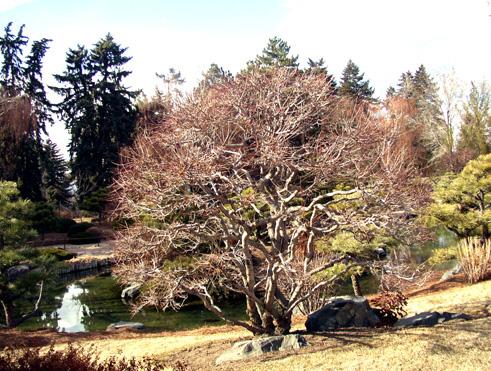 dbg_gnarly_tree_conifers.jpg