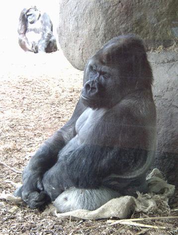 gorilla_silverback.jpg