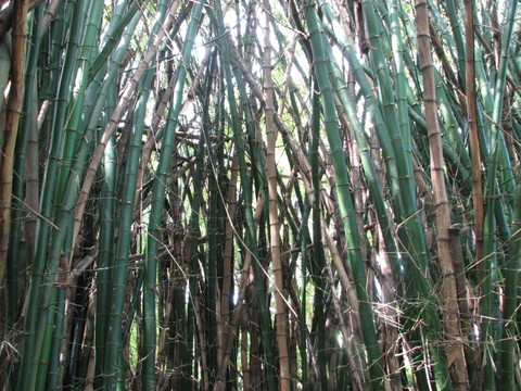 Bamboo_forest