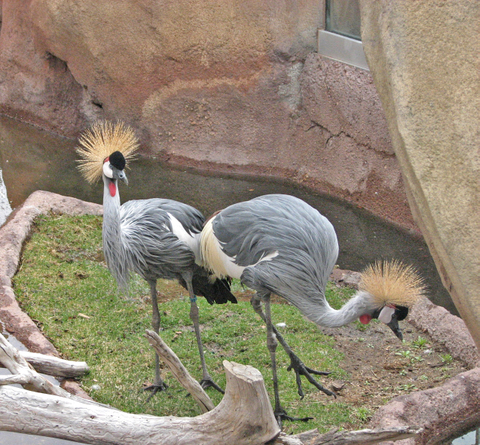 Goldcrowned_cranes