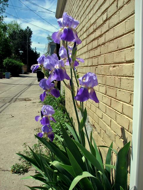 Alley_iris