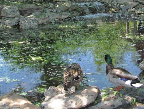 Duck_pool