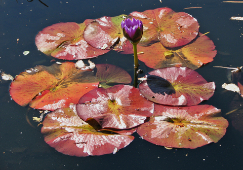 Monet_pond_water_lily