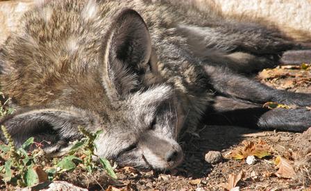Bateared_fox