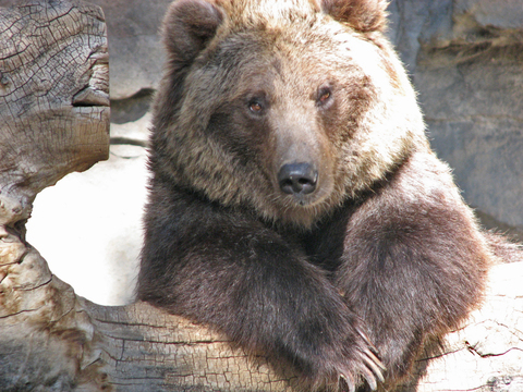 Grizzly_portrait