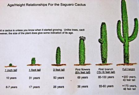 Saguaro_age_chart_2