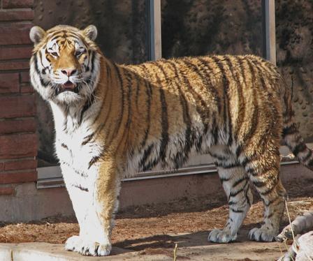 Siberian_tiger_2