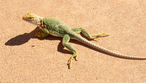 Arizona_lizard_cr
