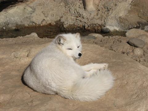 Artic_fox