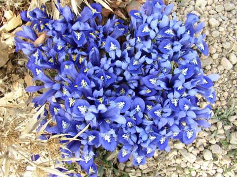 Blue_beauties