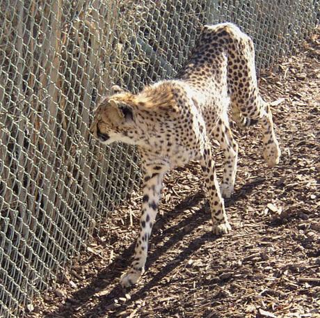 Cheetah3pg