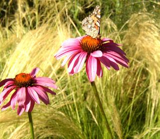 Coneflowers_and_butterfly