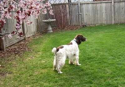 copper_surveying_his_turf