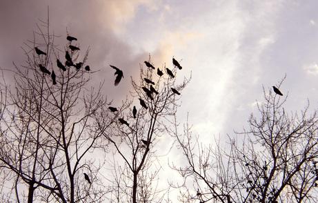 Crows_003b
