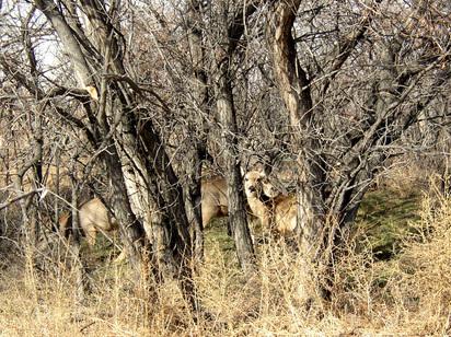 Deer_in_treeszm2