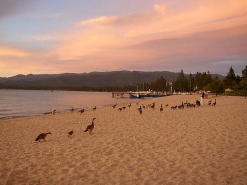 Geese_at_lake_tahoe