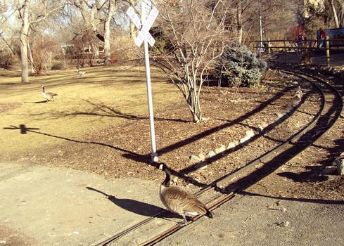 Goose_crossing