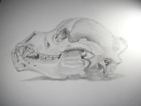 Kodiak_skull_1
