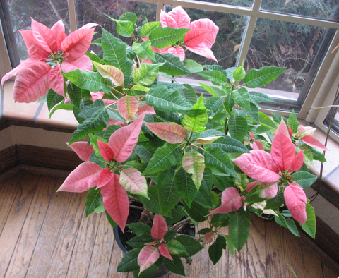 Poinsettia2nd_yearcr