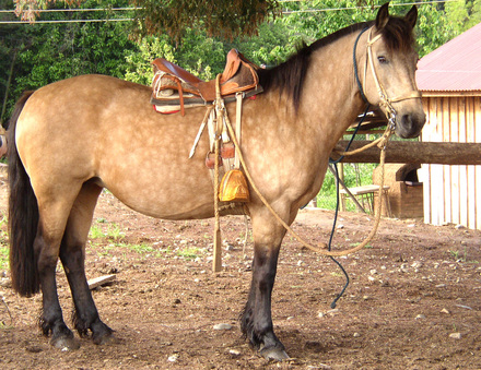 Popi_with_chilean_style_saddle