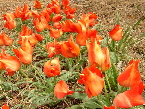 Red_tulips_1