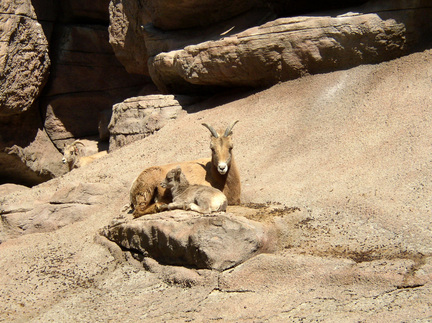 Rocky_mountain_bighorn_sheep_with_lamb2