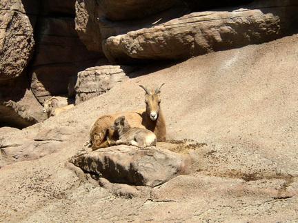 Rocky_mountain_bighorn_sheep_with_lamb2