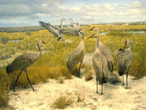 Sand_hill_cranes