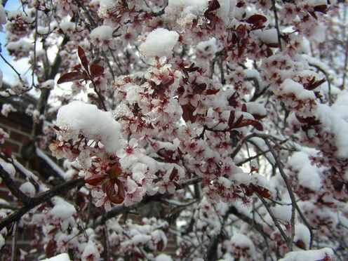 Snowy_blossoms_1