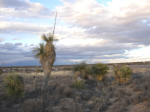 Yucca_afternoon