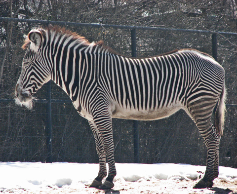 Zebraout_of_africa_1