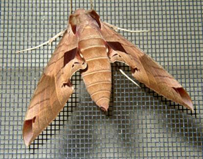 leaf_moth_on_screen.jpg
