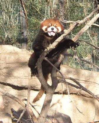 red_panda_in_tree.jpg