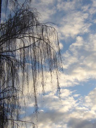 weeping_birch_sky2.jpg