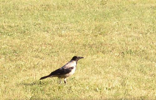 Estonian Hooded Crow