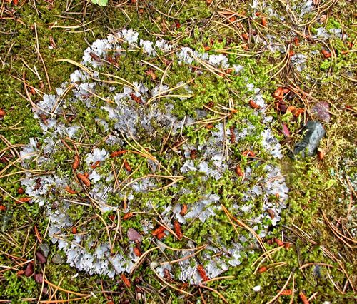 Circular lichen with moss