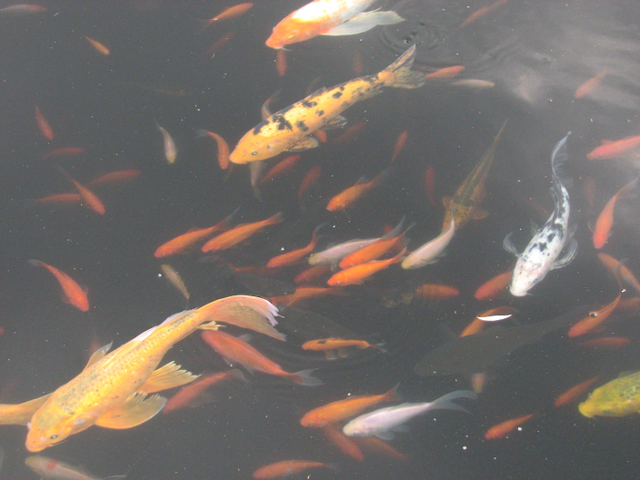 Connections local scenery for Koi pool water gardens thornton