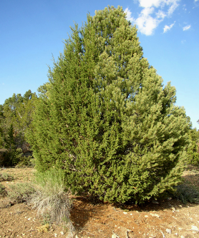 Two trees one juniper and one pinyon grew together